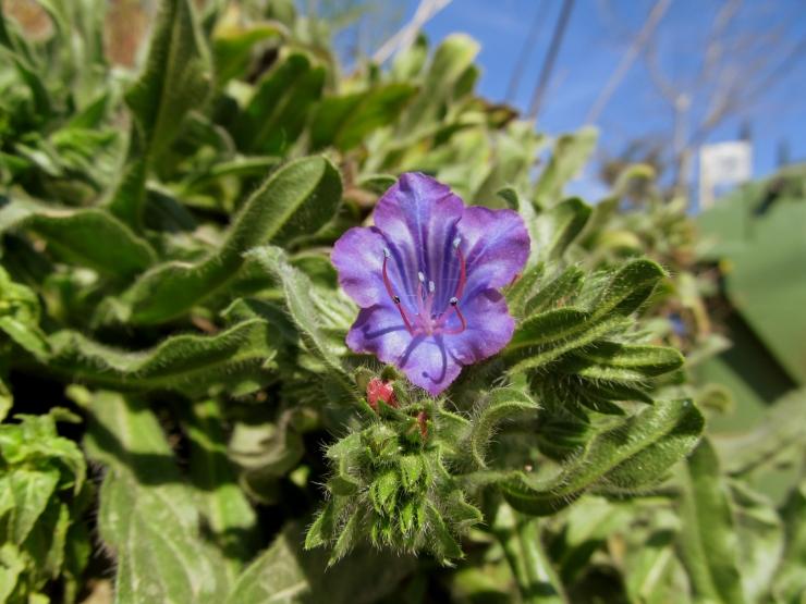 flor echium plantagineum