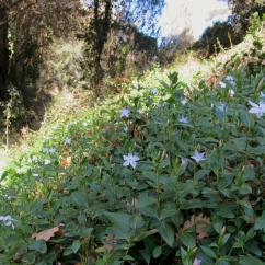 Vinca major (Vincapervinca)