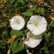 Convolvulus arvensis (Corretjola) A vegades també amb flor rosa