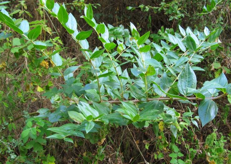 Coriaria myrtifolia