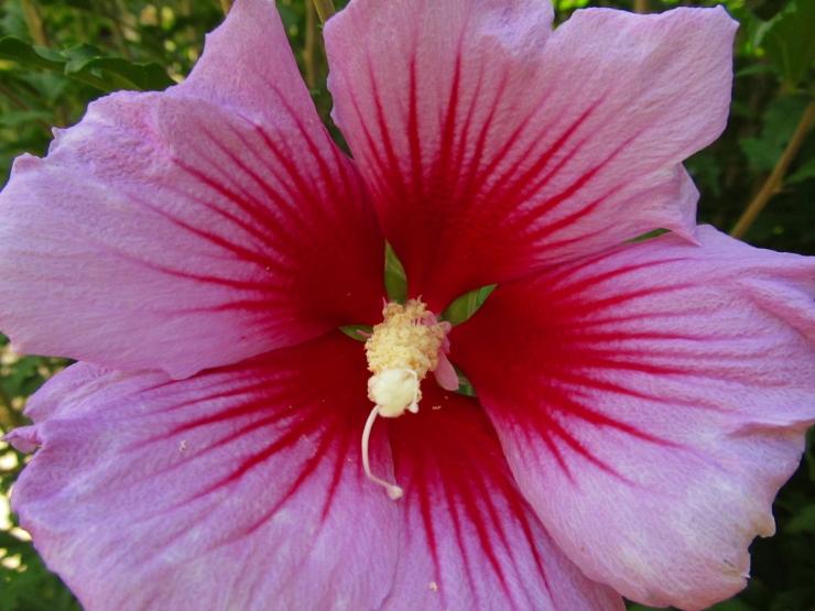 Flor Hibiscus syriacus