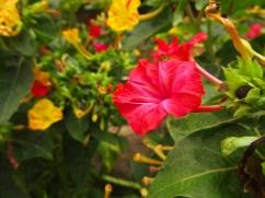 Mirabilis jalapa (Flor de nit)