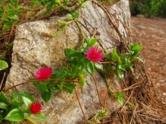 Aptenia cordifolia (Cabellera de la reina)