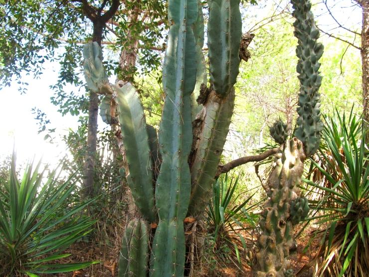 cereus uruguayanus