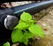 Galinsoga parviflora (Galinsoga)