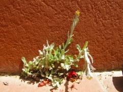 Helicrhysum ambiguum (Maçanella)