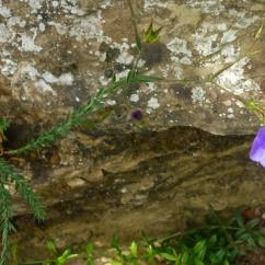 Linum narbonense (Lli de narbona)