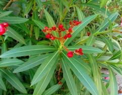 Nerium olenader (Baladre)