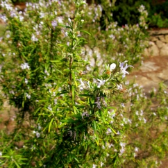 Rosmarinus officinalis (Romaní)