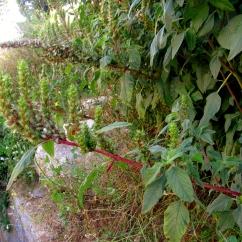 Amaranthus retroflexus (Marxant)
