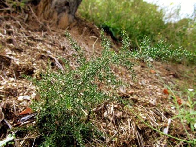 asparagus acutifolius