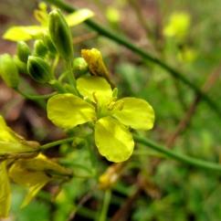 Brassica fruticulosa (Bràssica fruticulosa)