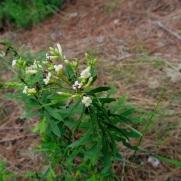 Daphne gnidium (Matapoll)