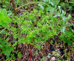 Euphorbia peplus (Lleterola peplus)