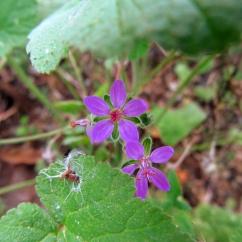 Erodium malacoides (Filamaria)