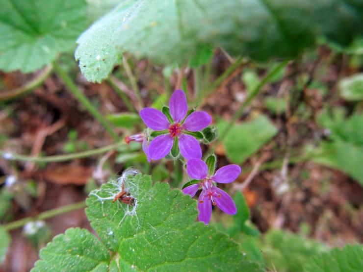 flor erodium malacoides