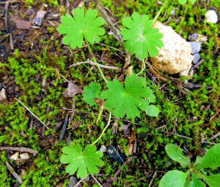Geranium rotundifolium