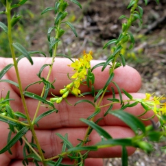 Odonites lutea (Fonollada groga)
