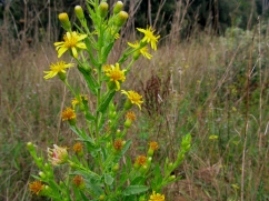 Solidago virgaurea (Vara d'or)