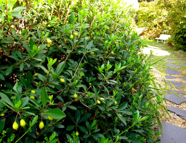 pittosporum heterophyllum