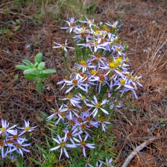 Aster sedifolius (Indiana)