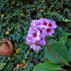 Bergenia crassifolia (Hortènsia d'hivern)