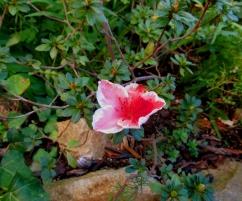 Rhdodendron simsii (Azalea)