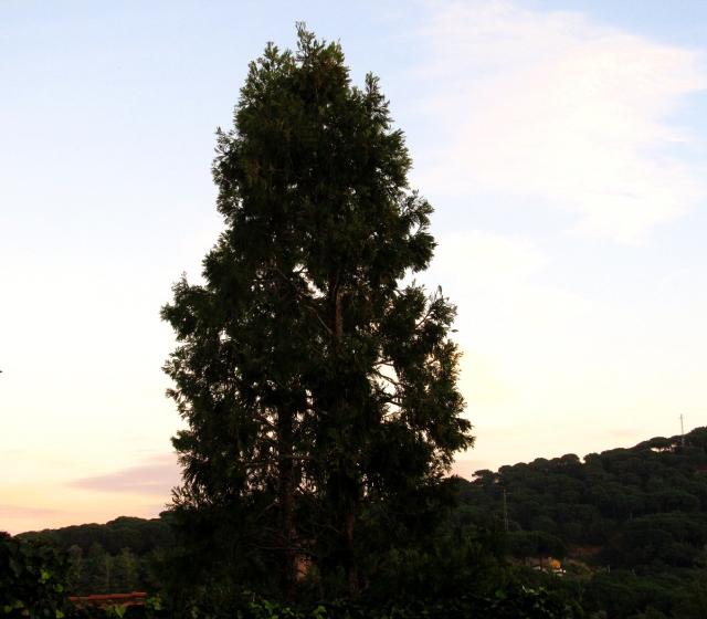 sobre coniferes 2