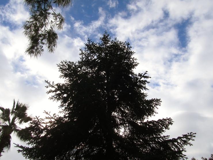 sobre coniferes 3