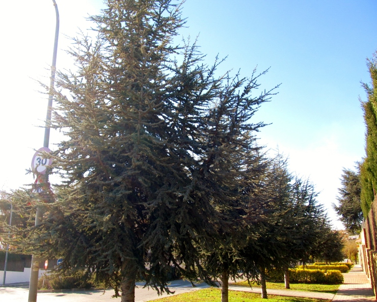 sobre coniferes