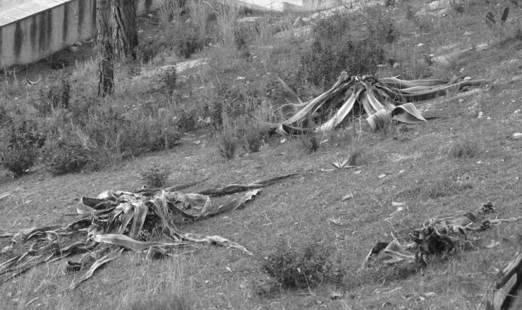 agave americana3 trífids