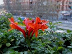 Bignonia capensis (Bignònia de flor taronja)