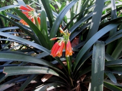 Clivia cyrtanthiflora (Clívia)