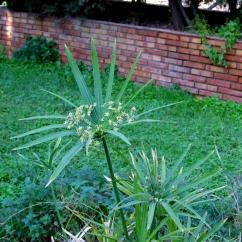 Cyperus alternifolius (Paraigüets)