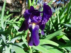 Iris germanica (Gínjol blau)