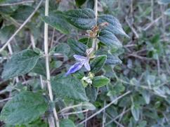 Teucrium fruticans (Teucri blau)