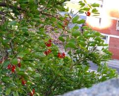 Erythrina falcata (Eritrina de jujuy)