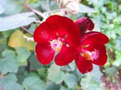 Phymosia umblellata (Fimòsia)
