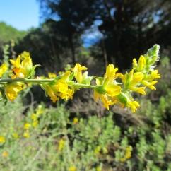 Anthyllis cytisoides (Albada)