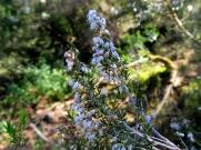 Erica arborea (Bruc)