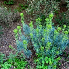 Euphorbia characias (Lleterasa vera)
