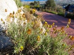Phagnalon saxatile (Ullastre de frare)