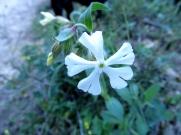 Silene latifolia (Afàbrega de ca)