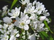 Allium neapolitanum (All napolità)