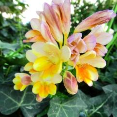 Freesia hybrida (Frèsia)