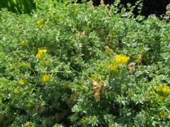 Lotus creticus (Lot de Creta)