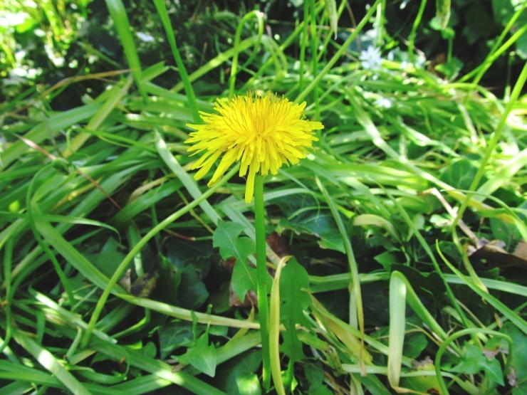 Taraxacum officinlae