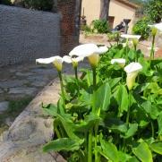 Zantedeschia aethiopica (Cal·la)