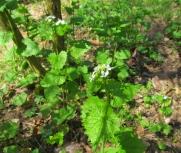 Alliaria petiolata (Allenc)