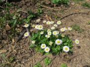 Bellis perennis (Margaridoia)
